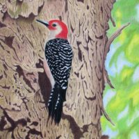 2018 – Red Bellied Woodpecker